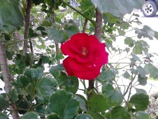 mawar_merah