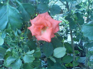 mawar_pink-orange